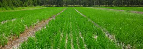 Essai variétal de riz en SCV