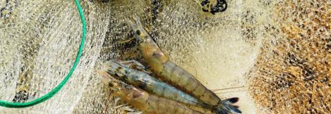 L'épervier est l'engin de pêche utilisé pour prélever les échantillons